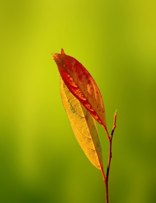 Leaf - Obrázkek zdarma pro 132x176