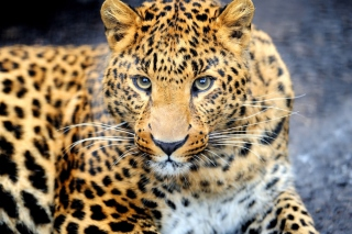 Free Leopard Predator Picture for Android, iPhone and iPad