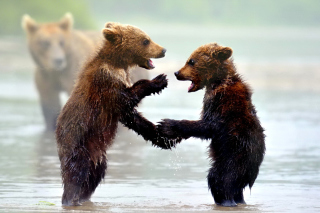 Bear cubs Wallpaper for Android, iPhone and iPad
