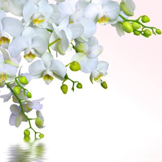 Tenderness White Orchid - Obrázkek zdarma pro iPad 3