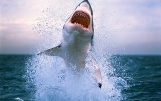 Dangerous Shark - Obrázkek zdarma pro Fullscreen Desktop 1024x768