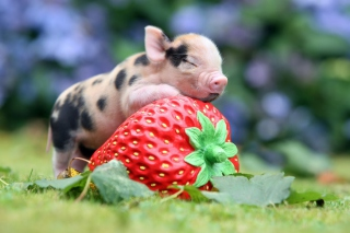 Cute Little Piglet And Strawberry - Obrázkek zdarma