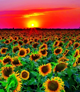 Sunflowers - Obrázkek zdarma pro Nokia X7