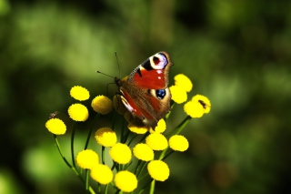 Yellow Flowers And Butterfly Background for Android, iPhone and iPad