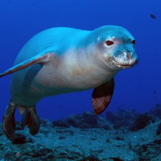 Hawaiian Monk Seal - Obrázkek zdarma pro 2048x2048