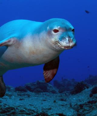 Hawaiian Monk Seal - Obrázkek zdarma pro 352x416