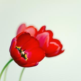 Poppy - Obrázkek zdarma pro iPad Air