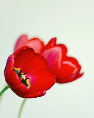 Poppy - Obrázkek zdarma pro 480x854