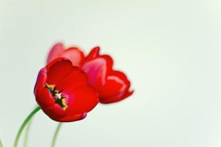 Poppy - Obrázkek zdarma pro Sony Xperia M