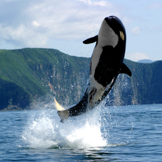 Orca in the Atlantic Ocean - Obrázkek zdarma pro 208x208