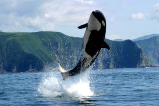 Orca in the Atlantic Ocean - Obrázkek zdarma pro Samsung Galaxy S6 Active
