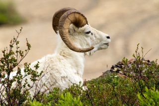Mouflon Wild Goat Wallpaper for Android, iPhone and iPad