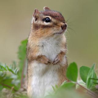 Squirrel HD - Obrázkek zdarma pro 128x128