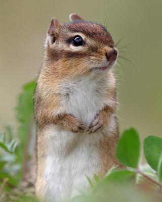 Squirrel HD - Obrázkek zdarma pro Nokia Asha 503