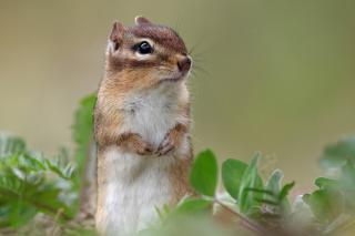 Squirrel HD - Obrázkek zdarma pro LG Optimus L9 P760