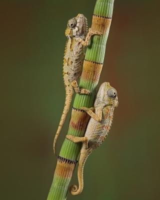 Chameleon - Obrázkek zdarma pro 176x220