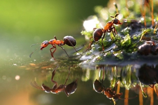 Free Ant Picture for Android, iPhone and iPad