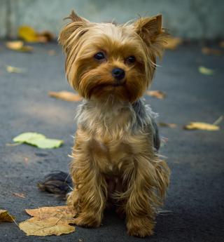 Cute Yorkshire Terrier - Obrázkek zdarma pro 208x208
