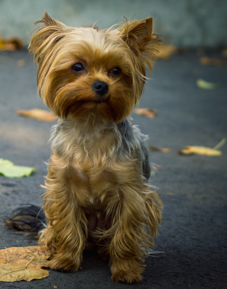 Cute Yorkshire Terrier - Obrázkek zdarma pro Nokia X1-00