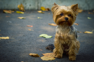 Cute Yorkshire Terrier - Obrázkek zdarma pro Samsung Galaxy