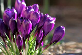Spring Purple Crocus - Fondos de pantalla gratis Stub device