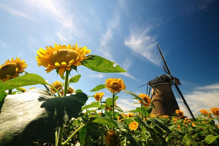 Mill In Sunflower Field wallpaper