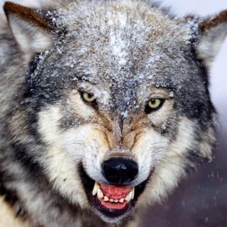 Wolf - Obrázkek zdarma pro iPad