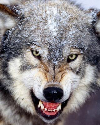 Wolf - Obrázkek zdarma pro Nokia Asha 310