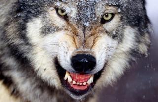 Wolf - Obrázkek zdarma pro Samsung Galaxy S3