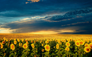 Sunflower Meadow Wallpaper for Android, iPhone and iPad