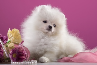 Spitz Puppy Picture for Android, iPhone and iPad