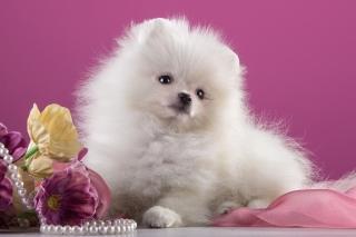 Spitz Puppy - Obrázkek zdarma pro Desktop Netbook 1366x768 HD