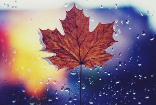 Dried Maple Leaf Wallpaper for Android, iPhone and iPad