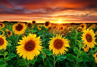 Beautiful Sunflower Field At Sunset Wallpaper for Android, iPhone and iPad