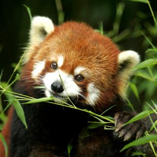Bamboo Feast Red Panda - Obrázkek zdarma pro iPad 3