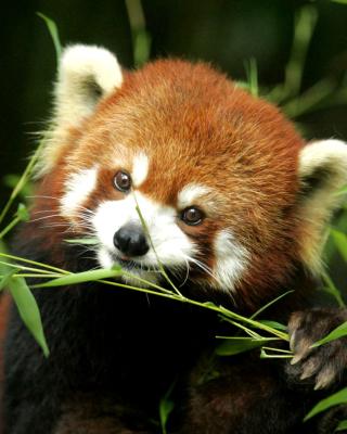 Bamboo Feast Red Panda - Obrázkek zdarma pro Nokia 300 Asha