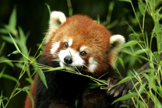Bamboo Feast Red Panda - Obrázkek zdarma pro Motorola DROID 3
