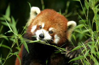 Bamboo Feast Red Panda - Obrázkek zdarma pro 1366x768