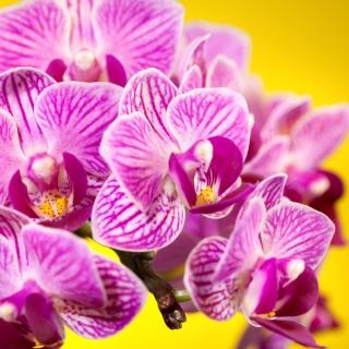 Pink orchid - Obrázkek zdarma pro iPad mini 2