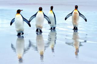 King Penguins - Obrázkek zdarma pro Desktop Netbook 1024x600