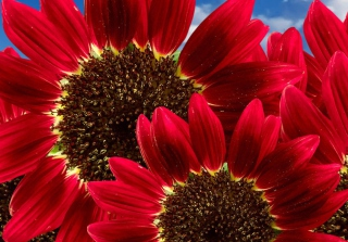 Free Red Sunflower Picture for Android, iPhone and iPad