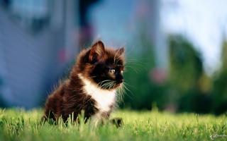 Kitten In Grass - Fondos de pantalla gratis Stub device
