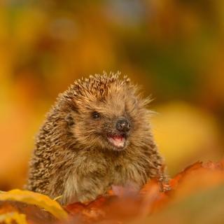 Hedgehog in Autumn Leaves - Obrázkek zdarma pro iPad Air