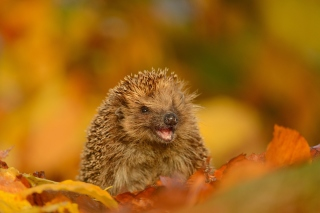 Hedgehog in Autumn Leaves - Obrázkek zdarma pro Widescreen Desktop PC 1680x1050