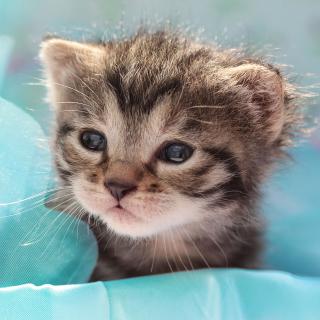 Grey Baby Kitten - Obrázkek zdarma pro iPad Air