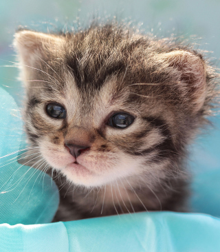Grey Baby Kitten - Obrázkek zdarma pro 352x416