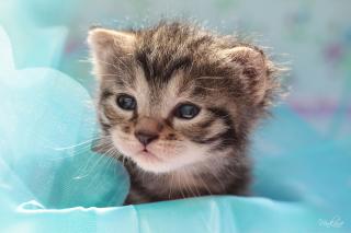 Grey Baby Kitten - Obrázkek zdarma pro 480x360