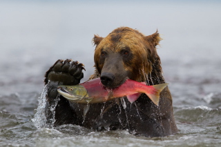 Grizzly Bear Catching Fish Wallpaper for Android, iPhone and iPad