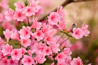 Pink Spring Blossom Picture for Android, iPhone and iPad