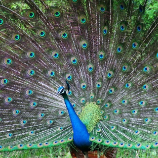 Indian Peafowl - Obrázkek zdarma pro iPad mini
